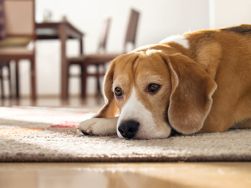 Basic Care of Pads In Dogs